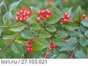 Купить «Спелые ягоды и зеленые листья кизильника на  ветке», эксклюзивное фото № 27103021, снято 8 октября 2017 г. (c) Svet / Фотобанк Лори