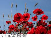 Купить «Красные маки на фоне голубого неба», фото № 27103681, снято 30 мая 2017 г. (c) Яна Королёва / Фотобанк Лори