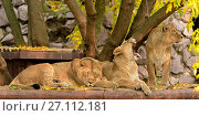 Купить «Family of Asiatic lions (Panthera Leo Persica) resting», фото № 27112181, снято 17 октября 2017 г. (c) Валерия Попова / Фотобанк Лори