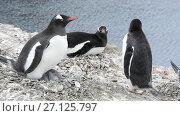 Купить «Chinstrap Penguins on the nest», видеоролик № 27125797, снято 19 октября 2017 г. (c) Vladimir / Фотобанк Лори