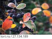 Купить «Aronia berries in October. Chokeberry», фото № 27134189, снято 21 октября 2017 г. (c) EugeneSergeev / Фотобанк Лори
