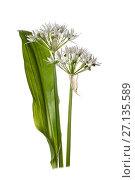 Купить «Ramsons / Wild garlic (Allium ursinum) on white background.», фото № 27135589, снято 15 августа 2018 г. (c) Nature Picture Library / Фотобанк Лори