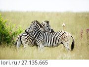 Купить «Two  Burchell's zebra (Equus quagga burchellii) mutual grooming with a Cattle egret (Bubulcus ibis) perched on back of one, Rietvlei Nature Reserve, South Africa.», фото № 27135665, снято 18 июня 2019 г. (c) Nature Picture Library / Фотобанк Лори