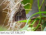 Купить «Бабочка-сова (Caligo Memnon)», фото № 27136317, снято 3 июня 2017 г. (c) Татьяна Белова / Фотобанк Лори