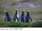 Купить «Yellow eyed penguin (Megadyptes antipodes), Sandy Bay on Enderby Island, subantarctic Auckland Islands, New Zealand. January.», фото № 27145537, снято 19 июля 2019 г. (c) Nature Picture Library / Фотобанк Лори