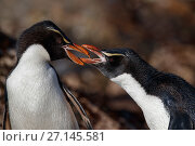 Купить «Snares crested penguin (Eudyptes robustus) pair arguing, Snares (Tine Heke) Sub Antarctic Island Group, Southern Ocean, New Zealand.», фото № 27145581, снято 22 июля 2018 г. (c) Nature Picture Library / Фотобанк Лори
