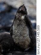 Купить «Snares crested penguin chick (Eudyptes robustus), Snares (Tine Heke) Sub Antarctic Island Group, Southern Ocean, New Zealand. December.», фото № 27145589, снято 22 июля 2018 г. (c) Nature Picture Library / Фотобанк Лори