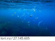 Купить «Snares crested penguin (Eudyptes robustus) underwater,  Subantarctic Snares Islands (Tine Heke), New Zealand. January.», фото № 27145605, снято 22 июля 2018 г. (c) Nature Picture Library / Фотобанк Лори