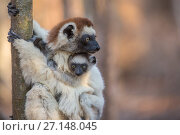 Купить «Verreaux's Sifaka (Propithecus verreauxi) holding baby, Berenty Reserve, Madagascar.», фото № 27148045, снято 15 июля 2020 г. (c) Nature Picture Library / Фотобанк Лори