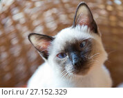Купить «Young cat, kitten of Siam  oriental breed», фото № 27152329, снято 15 апреля 2017 г. (c) Куликов Константин / Фотобанк Лори