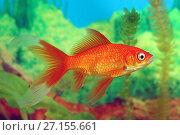 Купить «Золотая рыбка Комета красная. Carassius auratus var. comet red», фото № 27155661, снято 30 октября 2017 г. (c) Григорий Писоцкий / Фотобанк Лори