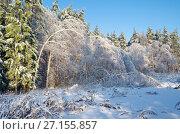 Купить «Зимний лес. Березки склонились после ледяного дождя», эксклюзивное фото № 27155857, снято 15 ноября 2016 г. (c) Елена Коромыслова / Фотобанк Лори