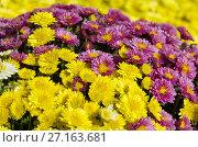 Купить «Желтые и малиновые хризантемы, фон», фото № 27163681, снято 22 сентября 2017 г. (c) Елена Коромыслова / Фотобанк Лори
