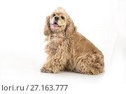 Купить «American Cocker Spaniel», фото № 27163777, снято 31 октября 2017 г. (c) Андрей Скат / Фотобанк Лори