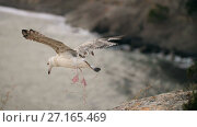 Купить «Seagull taking off from the rock», видеоролик № 27165469, снято 31 октября 2017 г. (c) Илья Шаматура / Фотобанк Лори