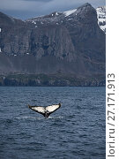 Купить «Humpback whale (Megaptera novaeangliae) tail fluke visible at surface as it dives off Weddell Point, South Georgia, January», фото № 27171913, снято 18 июля 2018 г. (c) Nature Picture Library / Фотобанк Лори