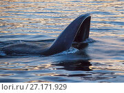 Купить «Blue whale (Balaenoptera musculus) lunging through school of krill at the surface at sunset, Sea of Cortez, Gulf of California, Baja California, Mexico, February, endangered species», фото № 27171929, снято 24 февраля 2020 г. (c) Nature Picture Library / Фотобанк Лори