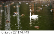 Купить «Wild waterfowl on the pond», видеоролик № 27174449, снято 21 октября 2017 г. (c) Игорь Жоров / Фотобанк Лори