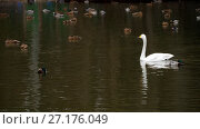 Купить «Wild waterfowl on the pond», видеоролик № 27176049, снято 21 октября 2017 г. (c) Игорь Жоров / Фотобанк Лори