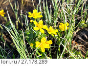 Купить «Yellow Creeping Buttercup Flowers, Ranunculus repens», фото № 27178289, снято 21 мая 2016 г. (c) Евгений Ткачёв / Фотобанк Лори