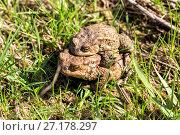 Купить «European grass frog copulation close-up», фото № 27178297, снято 21 мая 2016 г. (c) Евгений Ткачёв / Фотобанк Лори