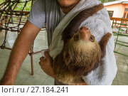 Two-toed sloth (Choloepus hoffmanni) hangs on the shoulder of its... Стоковое фото, фотограф Jen Guyton / Nature Picture Library / Фотобанк Лори