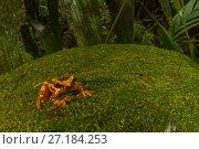 Купить «Hourglass tree frog (Dendropsophus ebraccatus) on moss covered leaf at La Selva Biological Station, Costa Rica.», фото № 27184253, снято 21 января 2018 г. (c) Nature Picture Library / Фотобанк Лори