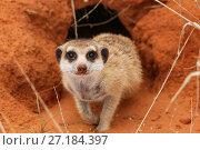 Купить «Meerkat (Suricata suricatta) emerging from its burrow in the Kalahari Desert, South Africa.», фото № 27184397, снято 4 августа 2020 г. (c) Nature Picture Library / Фотобанк Лори