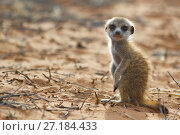 Купить «Meerkat pup (Suricata suricatta) in the Kalahari Desert, South Africa.», фото № 27184433, снято 5 августа 2020 г. (c) Nature Picture Library / Фотобанк Лори