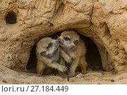 Купить «Meerkat (Suricata suricatta) pups  at the entrance to a burrow in the Kalahari Desert, South Africa.», фото № 27184449, снято 5 августа 2020 г. (c) Nature Picture Library / Фотобанк Лори