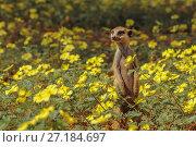 Купить «Meerkat (Suricata suricatta) standing among a field of Devil's thorn flowers (Tribulus zeyheri) in the Kalahari Desert, South Africa.», фото № 27184697, снято 14 августа 2018 г. (c) Nature Picture Library / Фотобанк Лори
