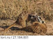 Купить «Meerkats (Suricata suricatta) two playfighting in the Kalahari Desert, South Africa. Cropped image.», фото № 27184801, снято 4 августа 2020 г. (c) Nature Picture Library / Фотобанк Лори