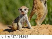 Купить «Meerkat (Suricata suricatta)  pup sits near its older family member in the Kalahari Desert, South Africa», фото № 27184929, снято 5 августа 2020 г. (c) Nature Picture Library / Фотобанк Лори