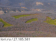 Купить «Aerial photograph of Lodgepole Pine forest (Pinus contorta) with dead trees killed by Mountain pine beetle (Dendroctonud ponderosae) Clear cut areas only...», фото № 27185581, снято 23 марта 2019 г. (c) Nature Picture Library / Фотобанк Лори