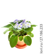 Купить «A plant of saintpaulia in flowerpot», фото № 27186233, снято 6 ноября 2017 г. (c) Юлия Кузнецова / Фотобанк Лори