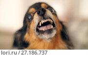 Купить «Grin of a small dog», видеоролик № 27186737, снято 7 ноября 2017 г. (c) Илья Шаматура / Фотобанк Лори