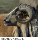 Купить «Cameroon ram portrait, Marsh of Ile d'Olonne, Vendee, France, January.», фото № 27190717, снято 15 августа 2018 г. (c) Nature Picture Library / Фотобанк Лори