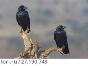 Купить «Two Ravens (Corvus corax) perched on branch, Sierra de Guadarrama, Spain, January.», фото № 27190749, снято 21 апреля 2019 г. (c) Nature Picture Library / Фотобанк Лори