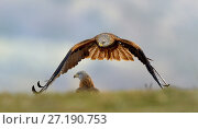 Купить «Red kite (Milvus milvus) in flight, Sierra de Guadarrama, Spain, January.», фото № 27190753, снято 24 сентября 2018 г. (c) Nature Picture Library / Фотобанк Лори