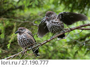 Купить «Spotted nutcracker (Nucifraga caryocatactes) fledgling begging Tatra Mountains, Poland», фото № 27190777, снято 16 августа 2018 г. (c) Nature Picture Library / Фотобанк Лори