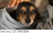 Купить «Mistress Stroking little dog after bathing», видеоролик № 27195069, снято 7 ноября 2017 г. (c) Илья Шаматура / Фотобанк Лори
