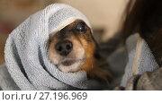 Купить «Funny Dog After Bathing Wrapped in a Towel», видеоролик № 27196969, снято 8 ноября 2017 г. (c) Илья Шаматура / Фотобанк Лори
