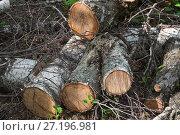 Купить «Распиленные бревна березы лежат на земле», фото № 27196981, снято 4 мая 2016 г. (c) Алёшина Оксана / Фотобанк Лори