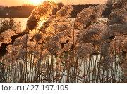 Купить «Закат на озере Yaoquan в национальном геоарке в Удалянчи на севере Китая. Солнечные блики в зарослях камыша», фото № 27197105, снято 18 октября 2017 г. (c) Овчинникова Ирина / Фотобанк Лори