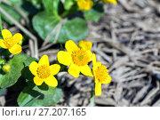 Купить «Yellow Creeping Buttercup Flowers, Ranunculus repens», фото № 27207165, снято 21 мая 2016 г. (c) Евгений Ткачёв / Фотобанк Лори