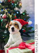 Dog breed Jack Russell under the Christmas tree. Стоковое фото, фотограф Типляшина Евгения / Фотобанк Лори