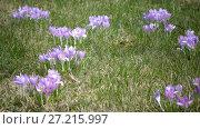 Купить «Early spring, crocus flowers against the background of a last year's grass», видеоролик № 27215997, снято 21 сентября 2009 г. (c) Куликов Константин / Фотобанк Лори