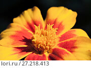Купить «Marigold flower, macro», фото № 27218413, снято 11 августа 2014 г. (c) Надежда Болотина / Фотобанк Лори