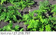 Купить «field of flowering potatoes is swaying in wind», видеоролик № 27218797, снято 30 июня 2017 г. (c) Володина Ольга / Фотобанк Лори