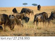 Купить «Wildebeest in Kenya, Masai Mara», фото № 27218993, снято 20 августа 2010 г. (c) Знаменский Олег / Фотобанк Лори